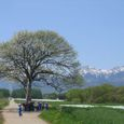 140_40572 野辺山のヤマナシの木