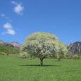 Img_67732 八ヶ岳牧場のヤマナシの木