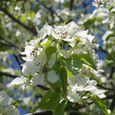 Img_68012 ヤマナシの花