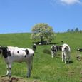 Img_68112 八ヶ岳牧場の放牧風景