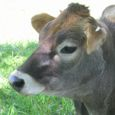 Img_68272 ジャージー牛