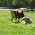 Img_68282 KEEP本部前の牛の放牧