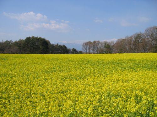 Img_64742 下念場の菜の花畑
