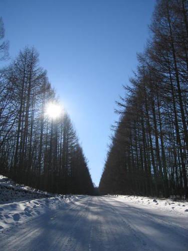 129_2945 八ヶ岳高原ロッジへのカラマツ並木